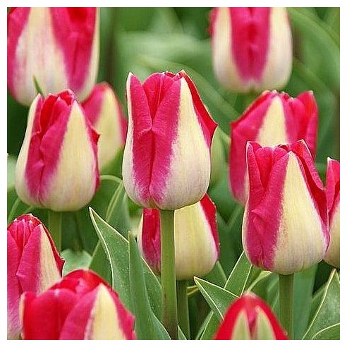 Тюльпан Alectric