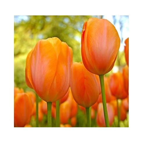 Тюльпан Day Dream
