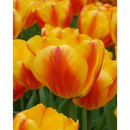 Тюльпан Oxford Wonder