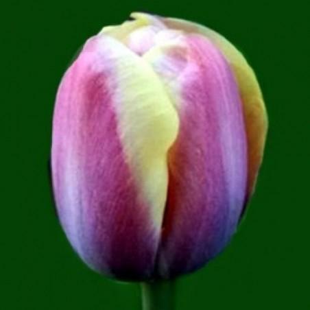 Тюльпан Arabian Beauty