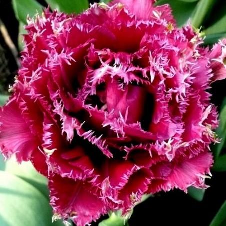 Тюльпан Mascotte