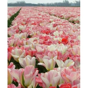 Тюльпан Pink heaven