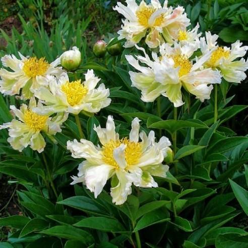 Півонія Green Lotus