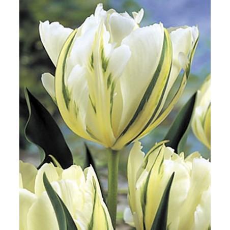 Тюльпан Exotic Emperor