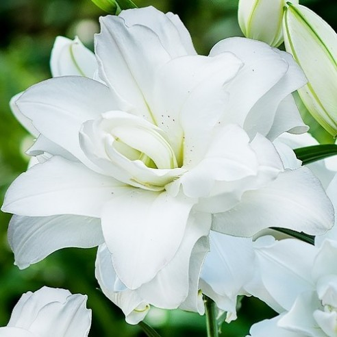 Лилия Lotus Pure