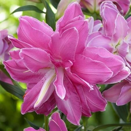Лилия Lotus Wonder
