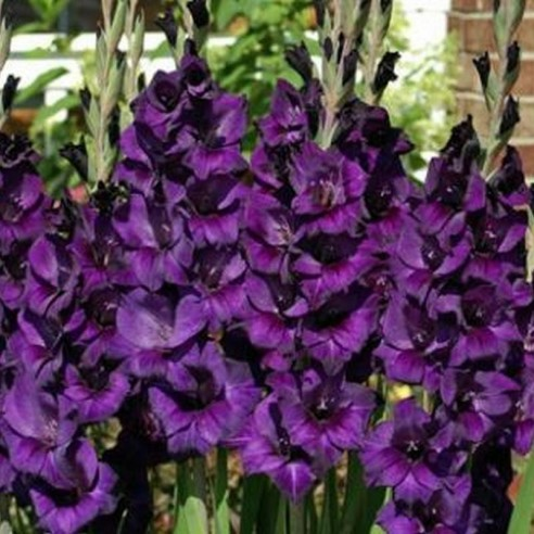 Гладиолус Purple Flora