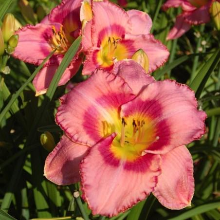 Лилейник Dress Pink