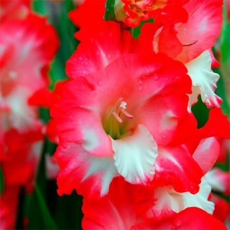 Гладиолус Pink Lady