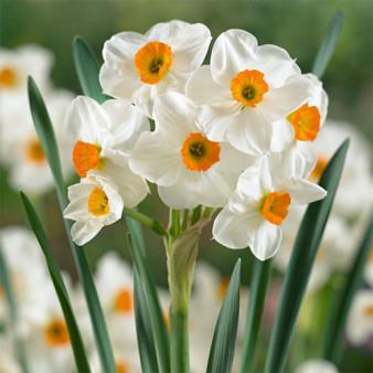 Нарцисс Geranium