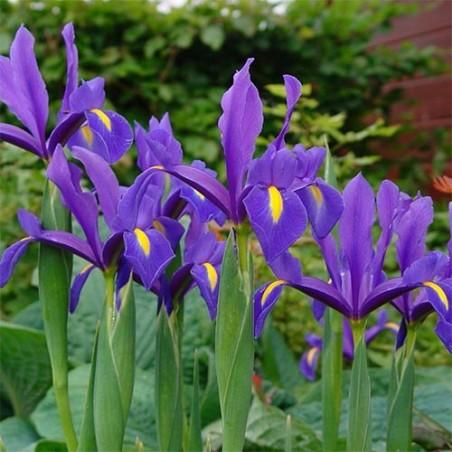 Ирис Hollandica фиолетовый
