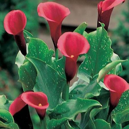 Калла Red Majesty