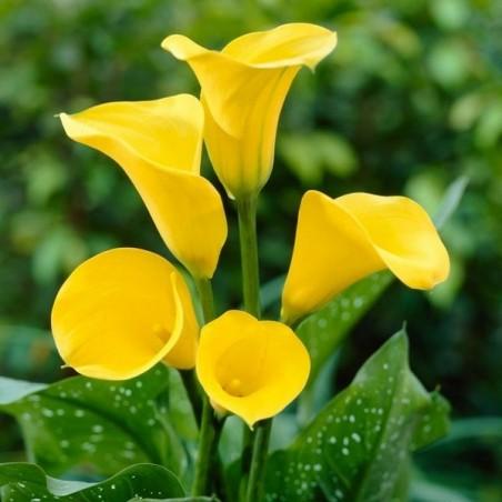 Калла Florex Gold