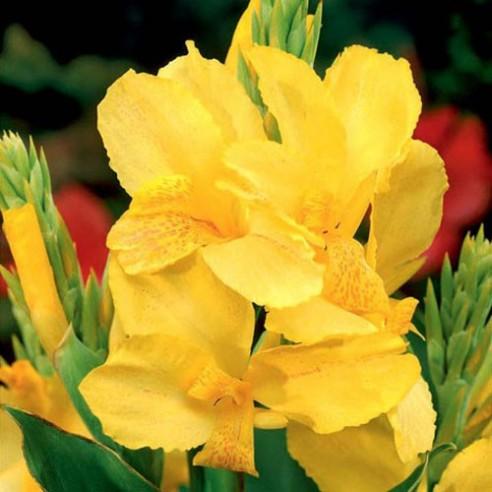Канна Yellow Humbert
