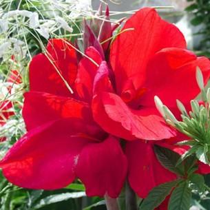 Канна Cherry Red