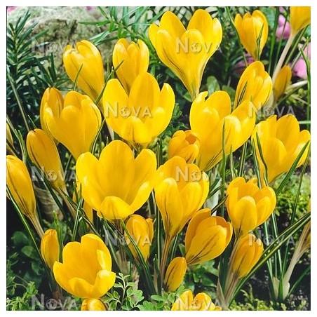 Крокусы Yellow Mammouth