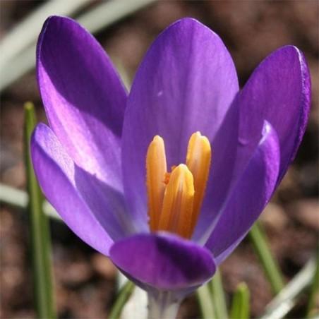 Крокусы Whitewell Purple