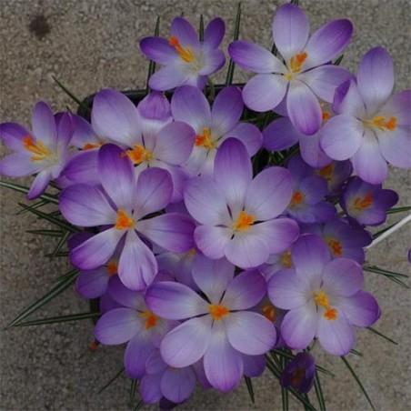 Крокусы Barr's Purple