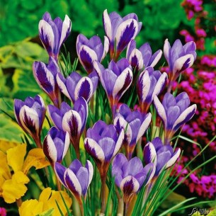Крокусы Spring Beauty