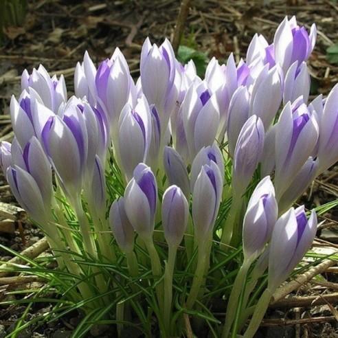 Крокус Lilac Beauty