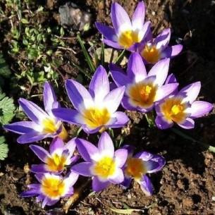 Крокус Sublimis Tricolor