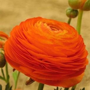 Лютик (ранункулюс) Оранжевый