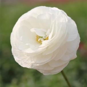 Лютик (ранункулюс) Белый