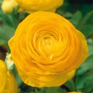 Лютик (ранункулюс) Желтый