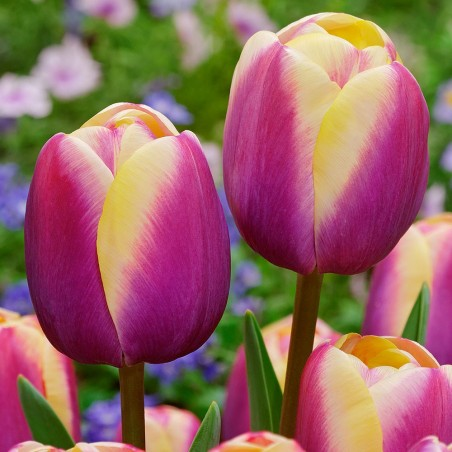 Немахровые поздние Тюльпаны