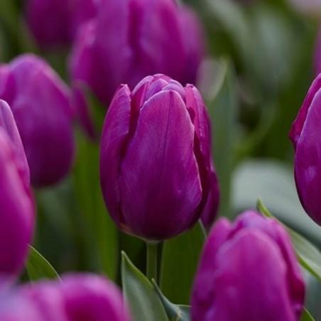Немахровые ранние Тюльпаны