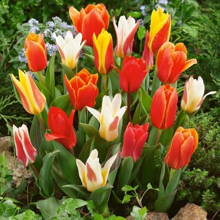 Тюльпаны Грэйга