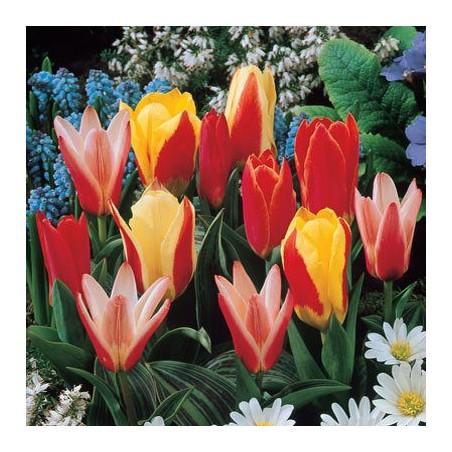 Тюльпаны Кауфмана
