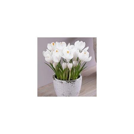Великоквіткові крокуси